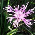 Vergängliche Schönheit.. Flockenblume