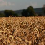 Sommer ist , wenn das Getreide reif ist