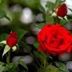 Sommerzeit = Rosenzeit