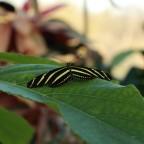 Zebra-Passionsfalter (Heliconius charitonius)
