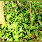 Klares Zeichen von Frühling .....Bärlauch