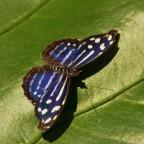 Fleck-Schillerfalter (myscelia cyaniris)