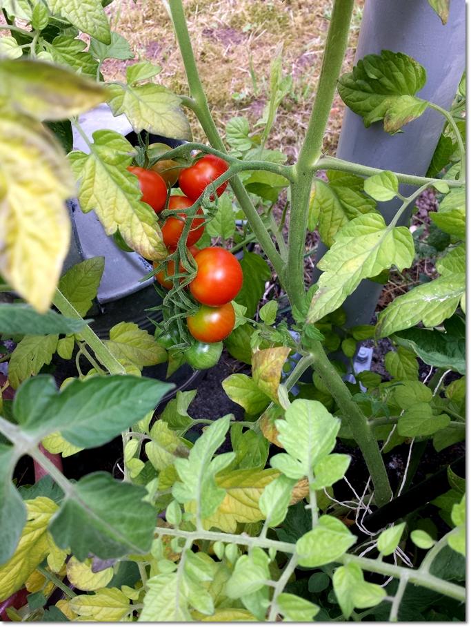 Sommer ist .. wenn die Tomaten reif werden