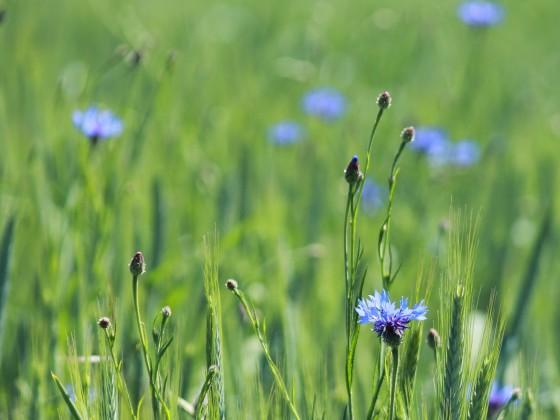 Blau im Kornfeld