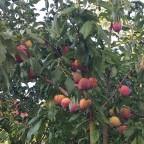 die Pfirsiche in Nachbars Garten