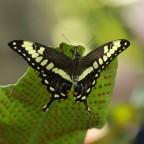 Königsschwalbenschwanz (Papilio thoas)
